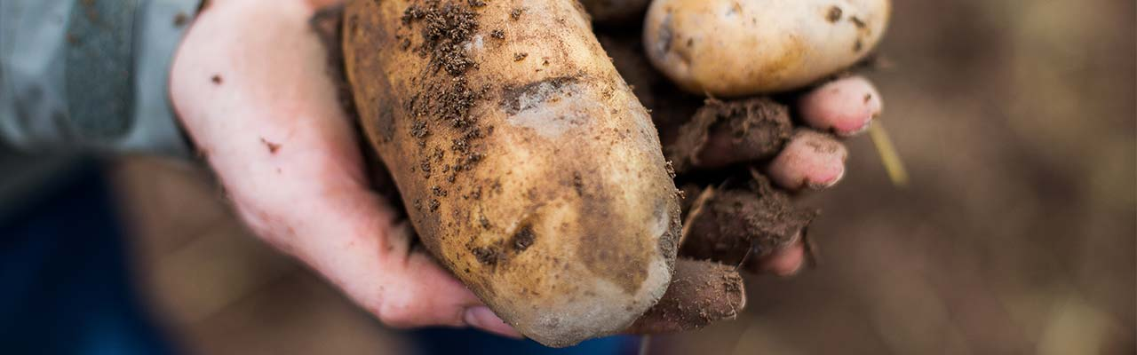 Bio-Kartoffel von Hansmanns